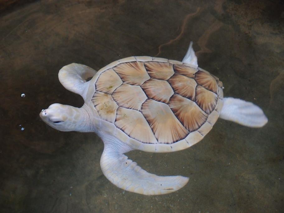 15-albino-turtle.jpg